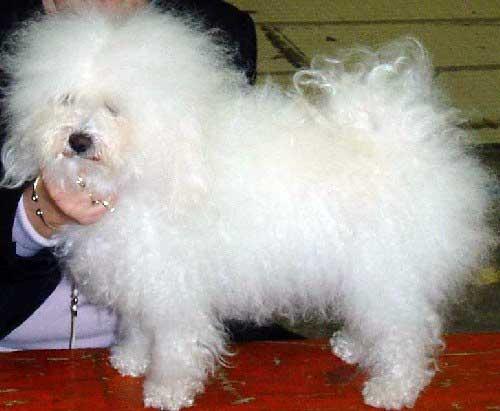 sara with devonia bolognese dog