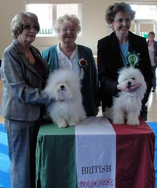 british bolognese dog club show 2010