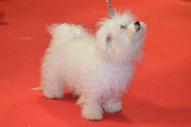 Devonia Bolognese dogs