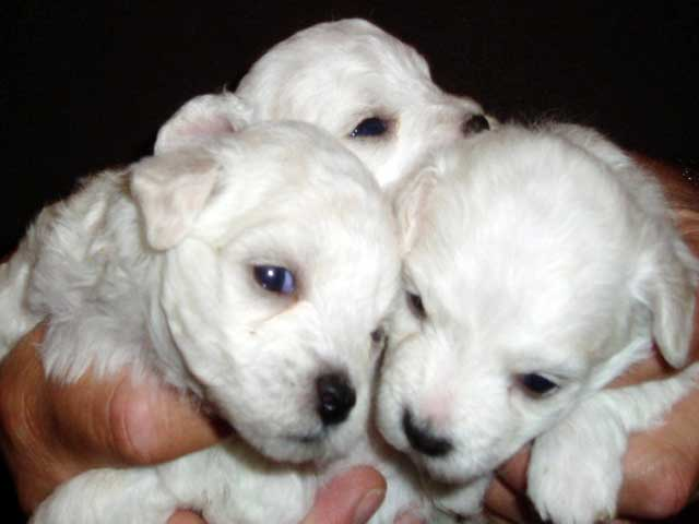 devonia bolognese girl puppies