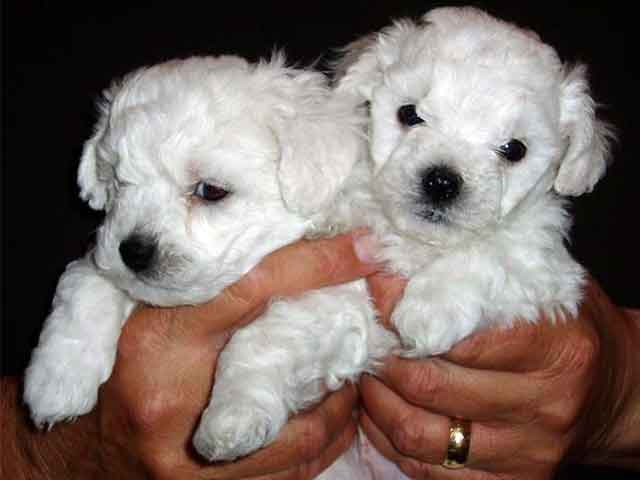 devonia bolognese dog puppies