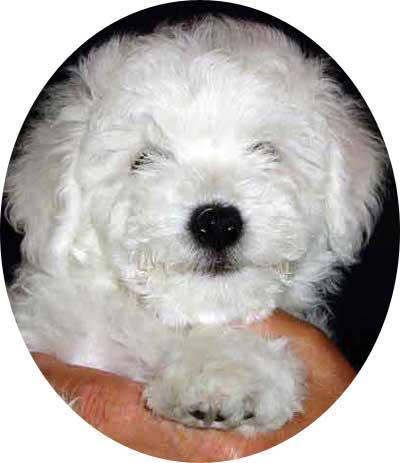 devonia bolognese puppy